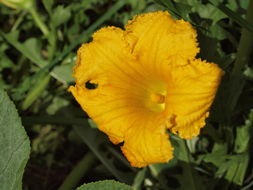 Image of vegetable marrow