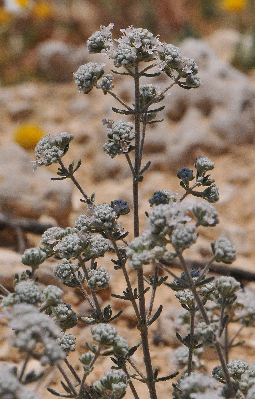 Image of <i>Teucrium <i>capitatum</i></i> ssp. capitatum