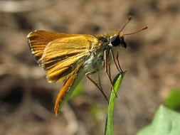 Image of <i>Copaeodes aurantiaca</i> Hewitson 1868