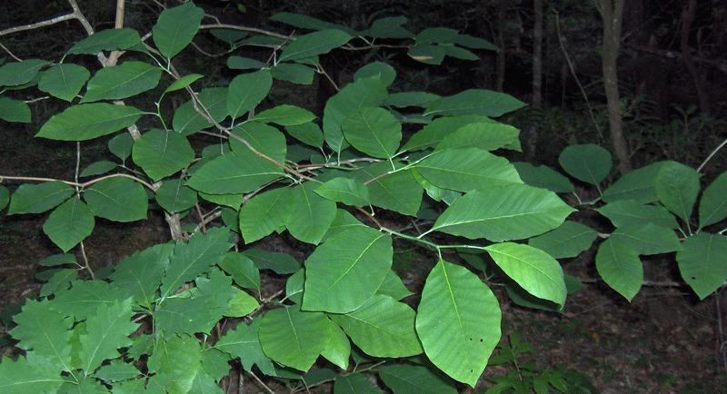 Image of Cucumber Magnolia