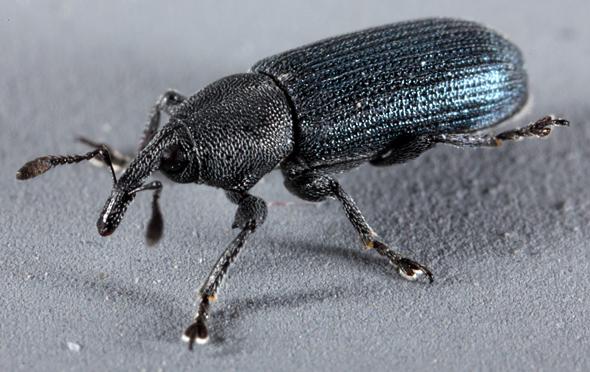 Image of <i>Mecinus janthinus</i>