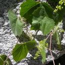 Image of canyon grape