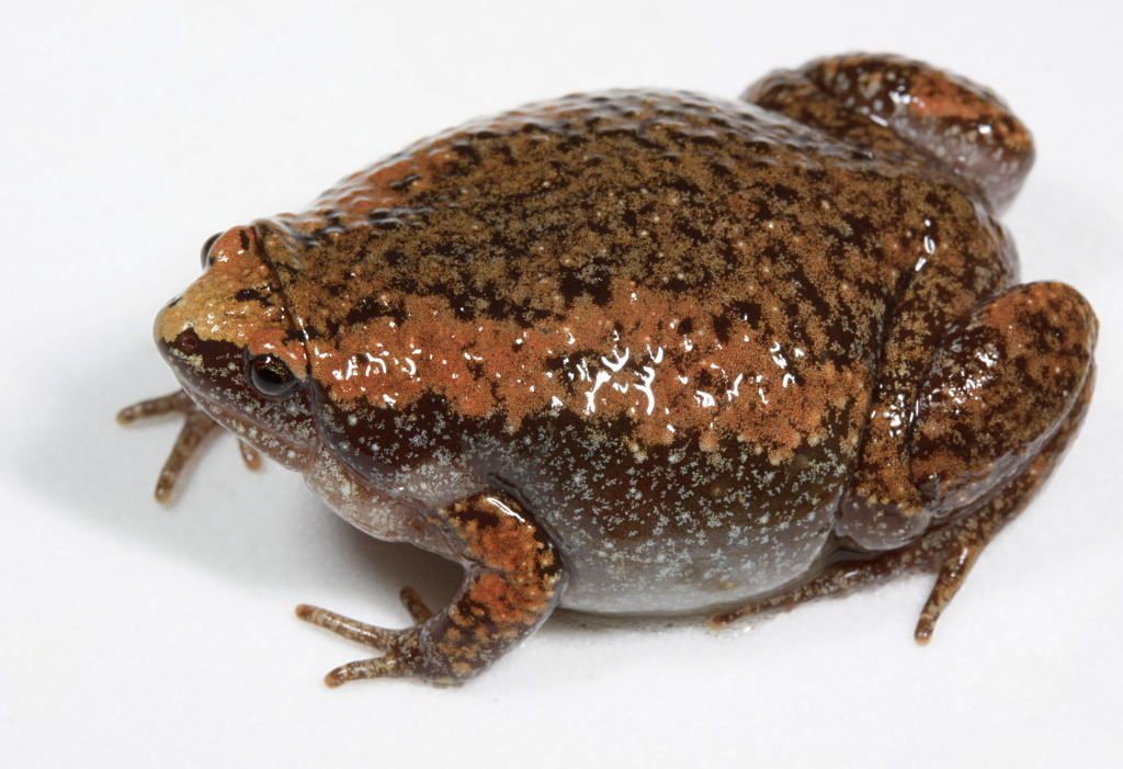 Image of Eastern Narrowmouth Toad