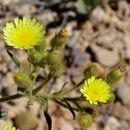 Image of <i>Andryala integrifolia</i> L.