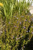 Image of <i>Scutellaria parvula</i> var. <i>leonardii</i> (Epling) Fernald