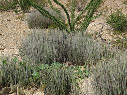 Sivun <i>Euphorbia antisyphilitica</i> Zucc. kuva