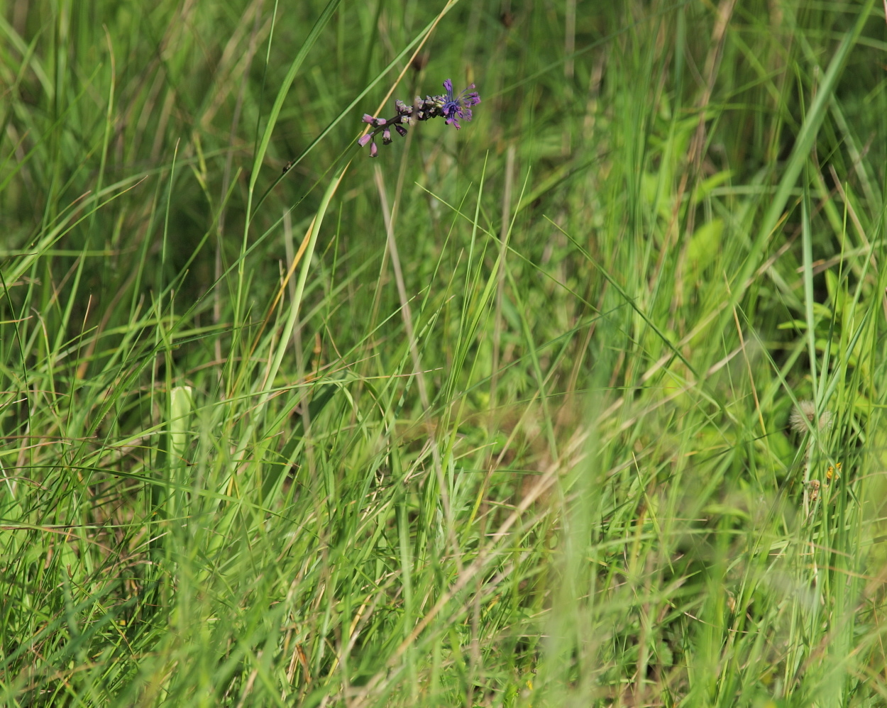 Image of <i>Muscari comosum</i>