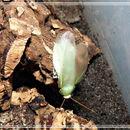 Image of <i>Panchlora spec</i>