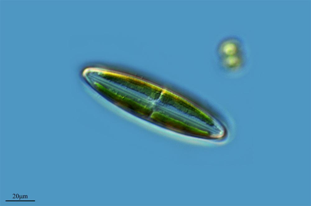 Image of <i>Paraquadrula irregularis</i>