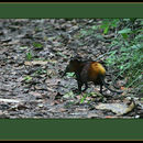 Image of Golden-rumped Elephant Shrew