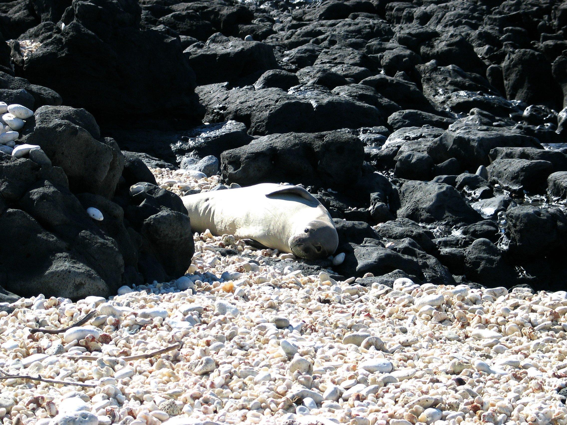 Image of Hawaiian Monk Seal