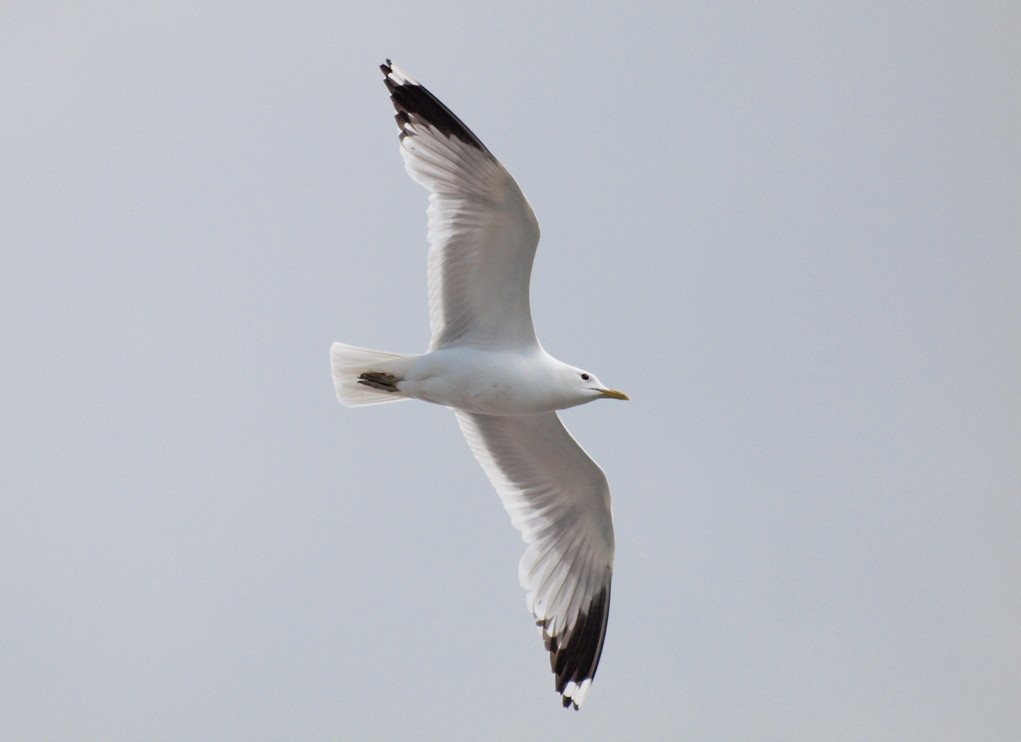 Image of common gull