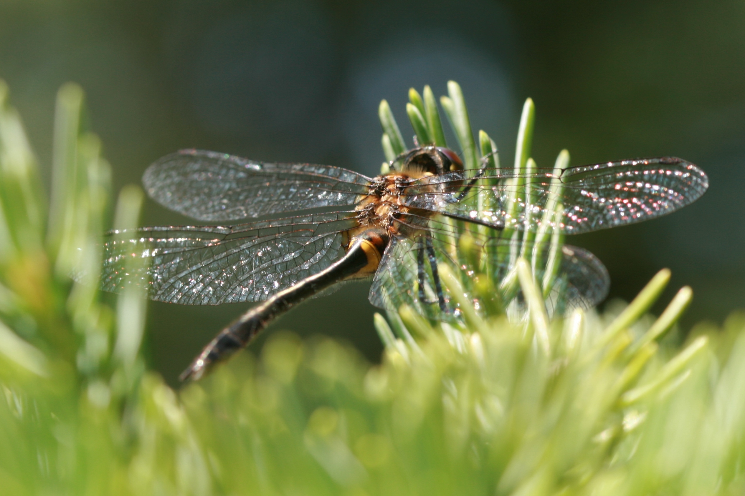 Image of Racket-tailed Emerald