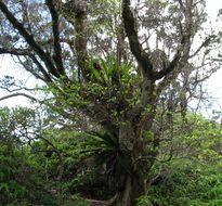 Image of <i>Bobea elatior</i>