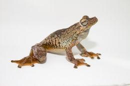 Image of Rosenberg's Gladiator Treefrog
