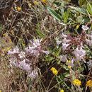 Image of <i>Eriodictyon californicum</i> (Hook. & Arn.) Greene