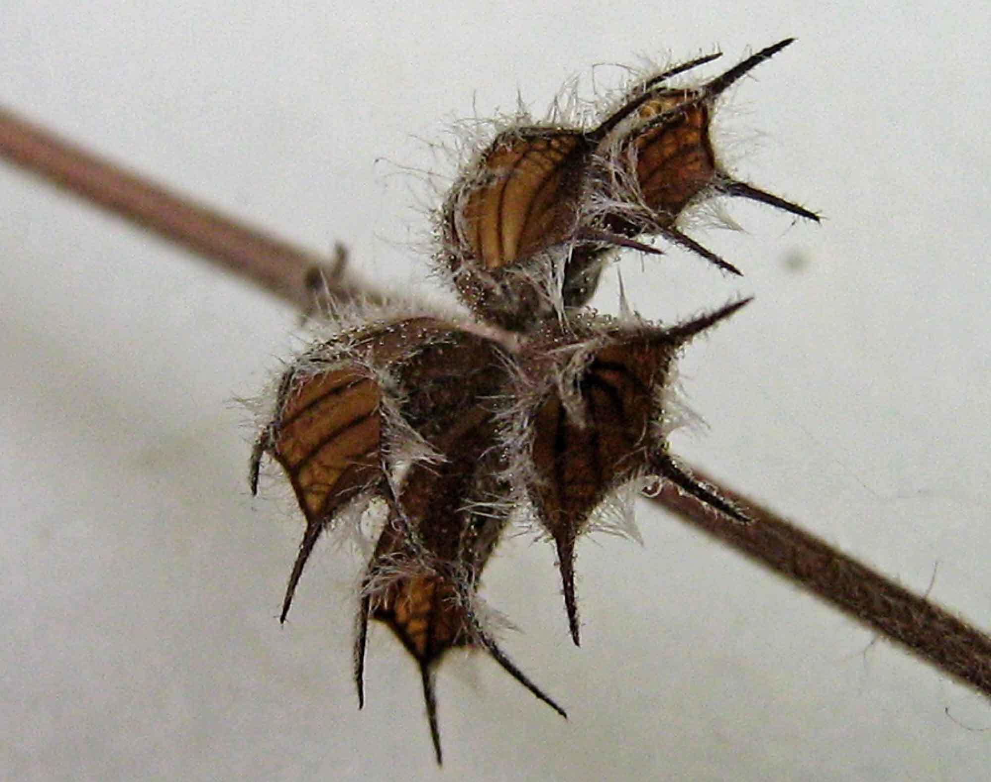 Image of <i>Mesosphaerum suaveolens</i>