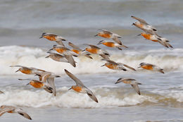 Image of Rufa Red Knot