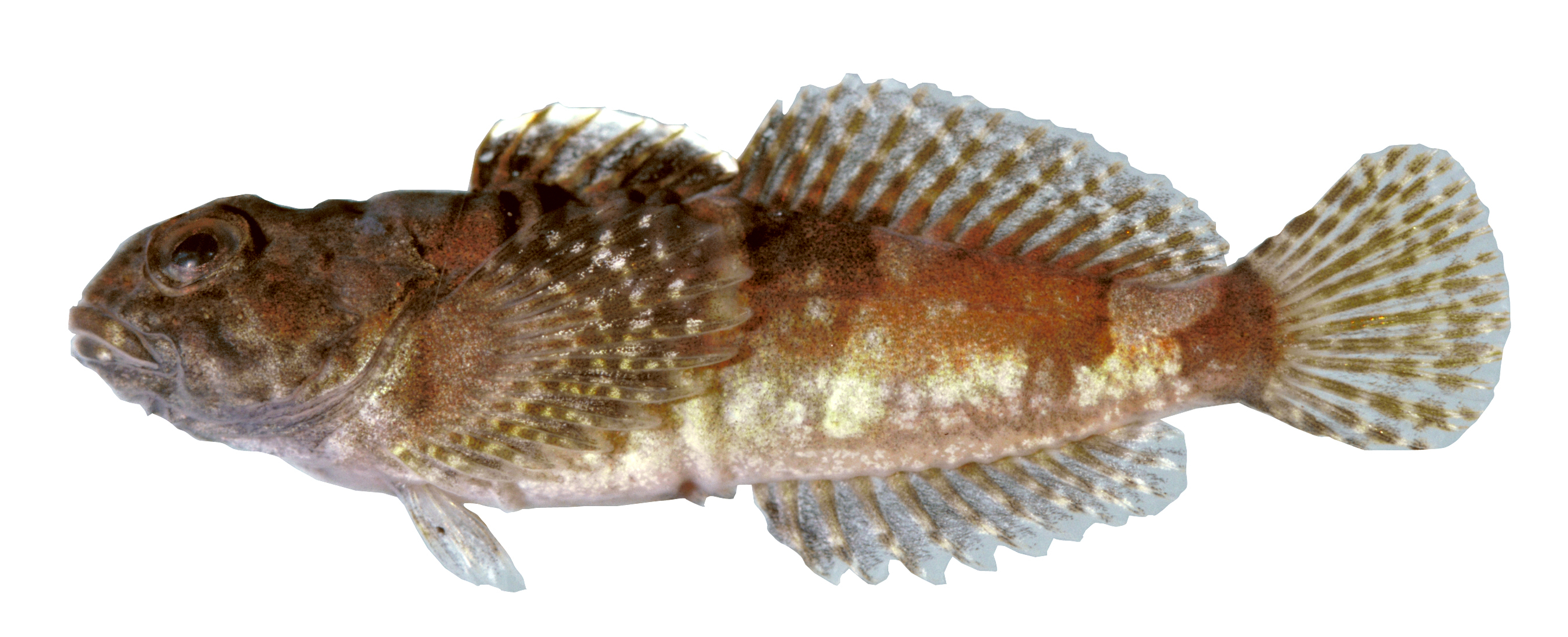 Image of Pygmy sculpin