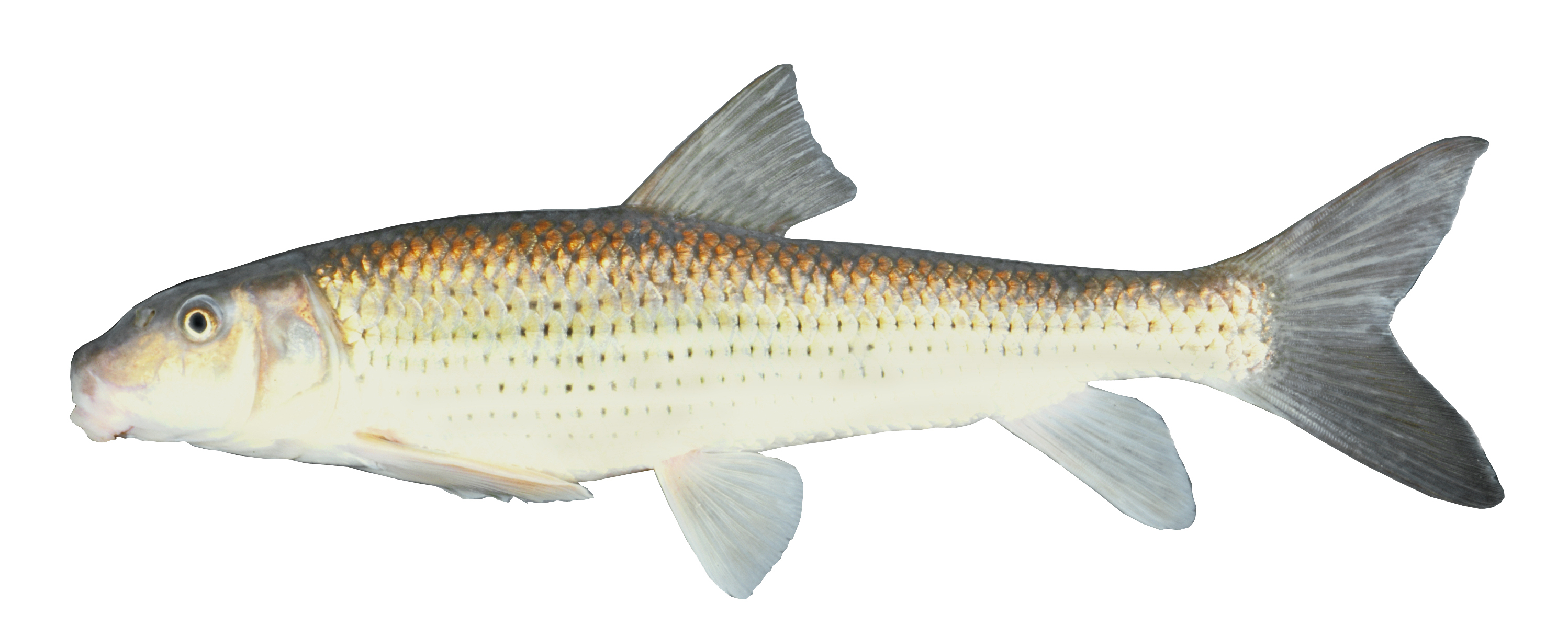 Image of Spotted sucker