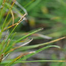 Image of Bellardi bog sedge