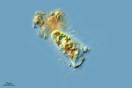 Image of <i>Paracondylostoma setigerum</i>