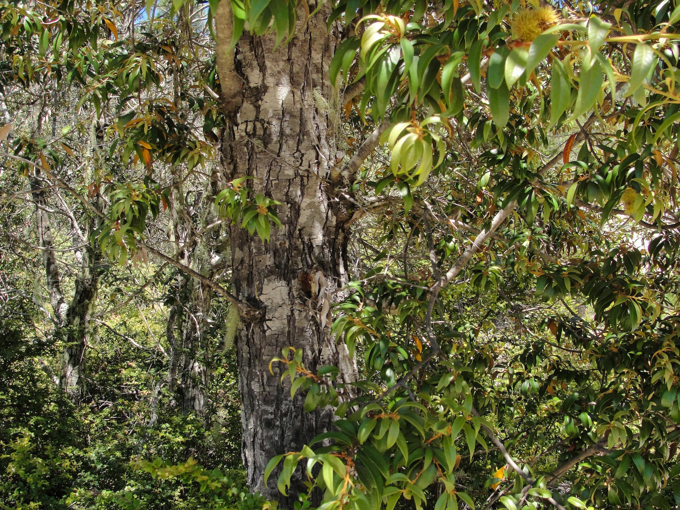 Image of giant chinquapin