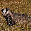 Image of Eurasian badger