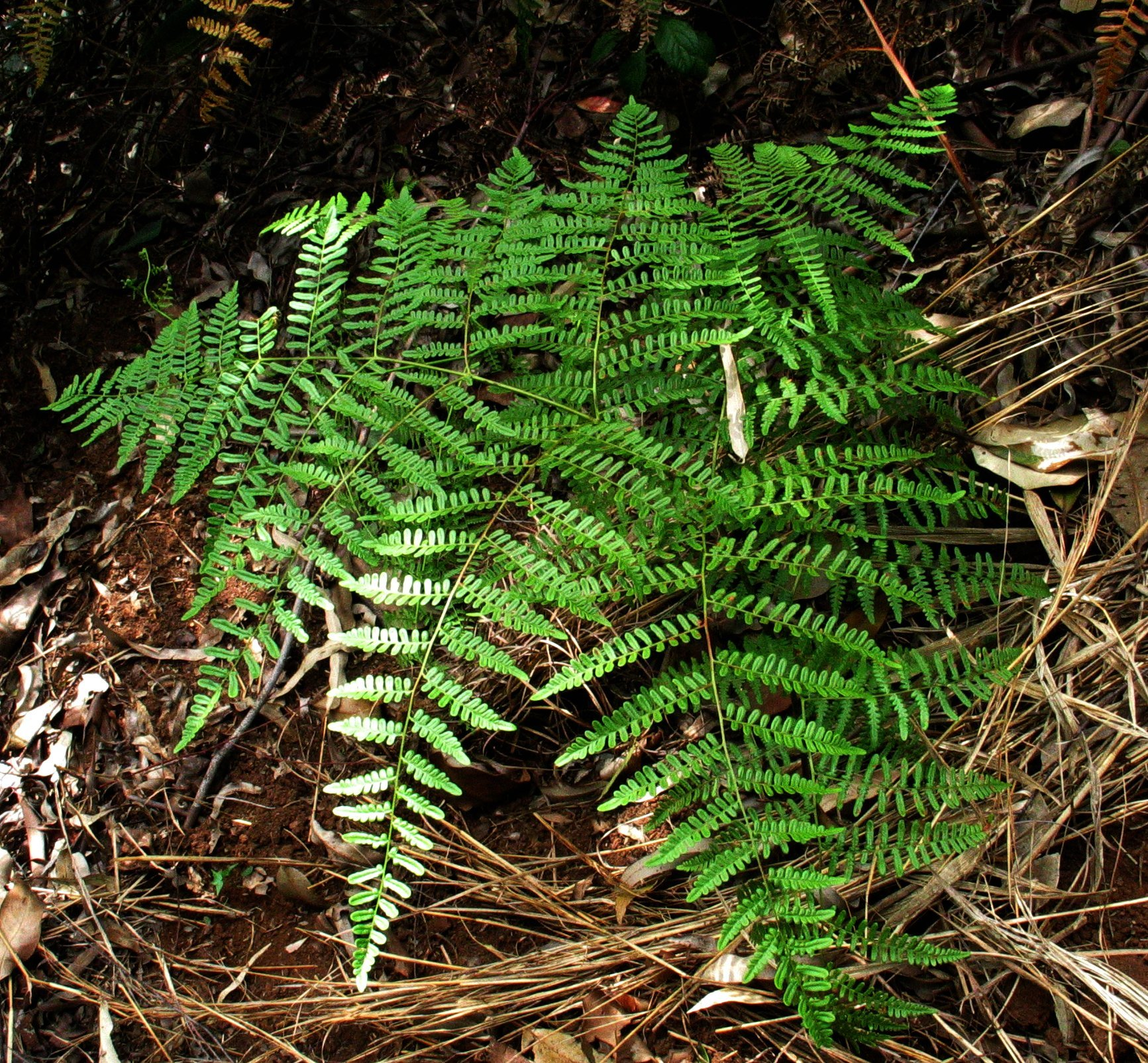 Image of decomposition brackenfern