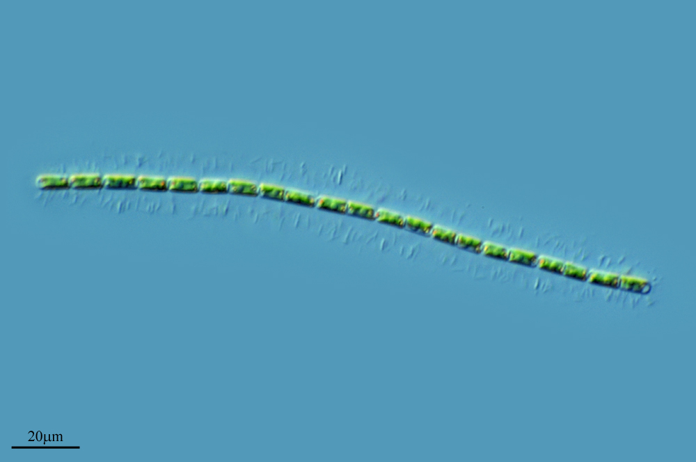Image of <i>Groenbladia neglecta</i>