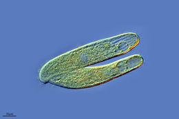 Image of <i>Pseudoblepharisma tenuis</i>