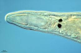 Image of <i>Gyratrix hermaphroditus</i> Ehrenberg 1831