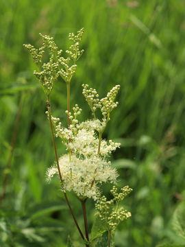 Image of queen of the meadow