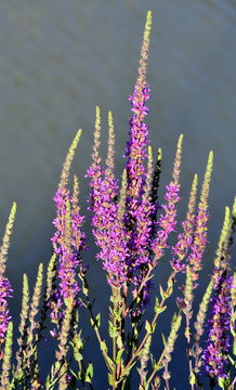 Image of Purple Loosestrife
