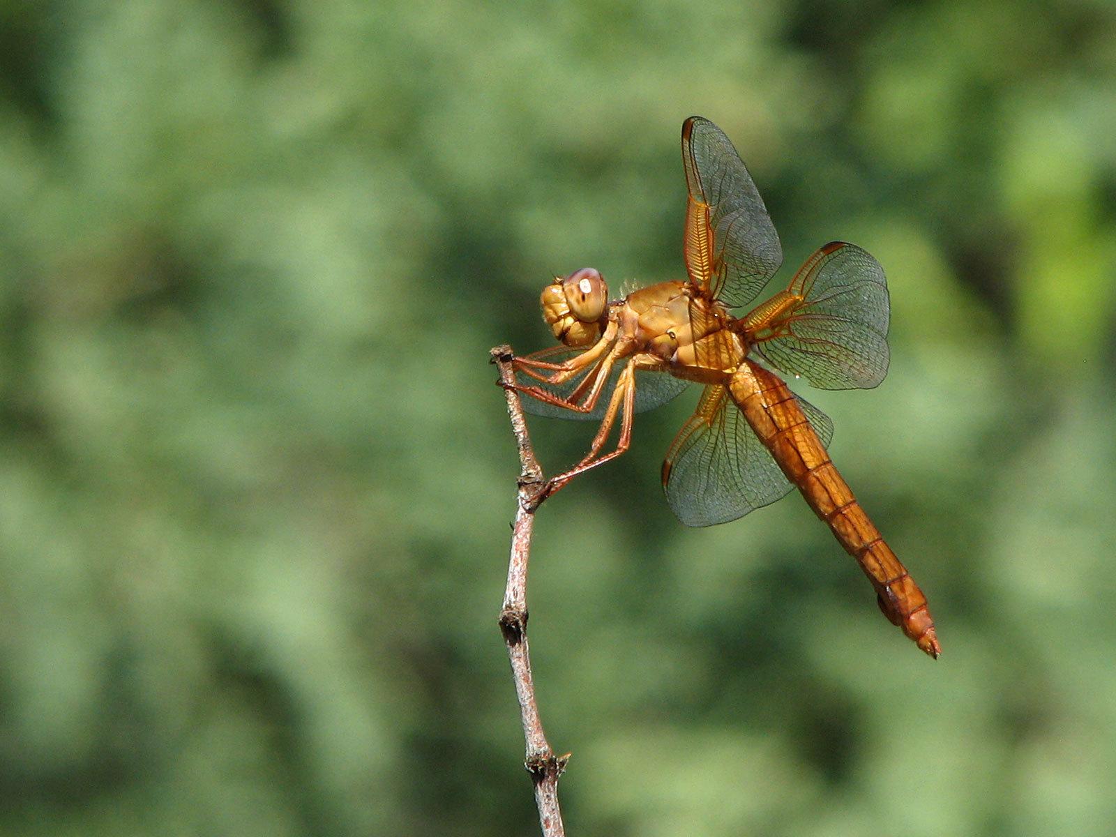 Image of Flame Skimmer