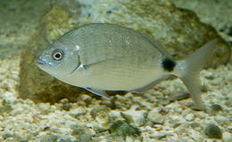 Image of Bermuda porgy