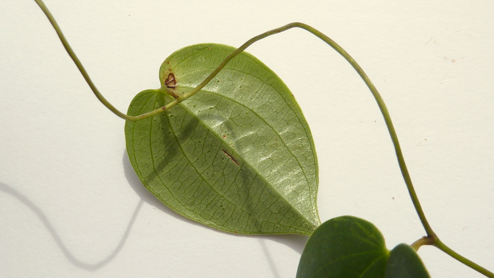 Image of <i>Dioscorea sincorensis</i> R. Knuth