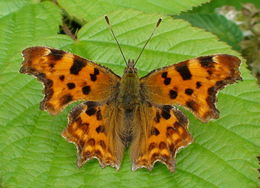 Image of Comma