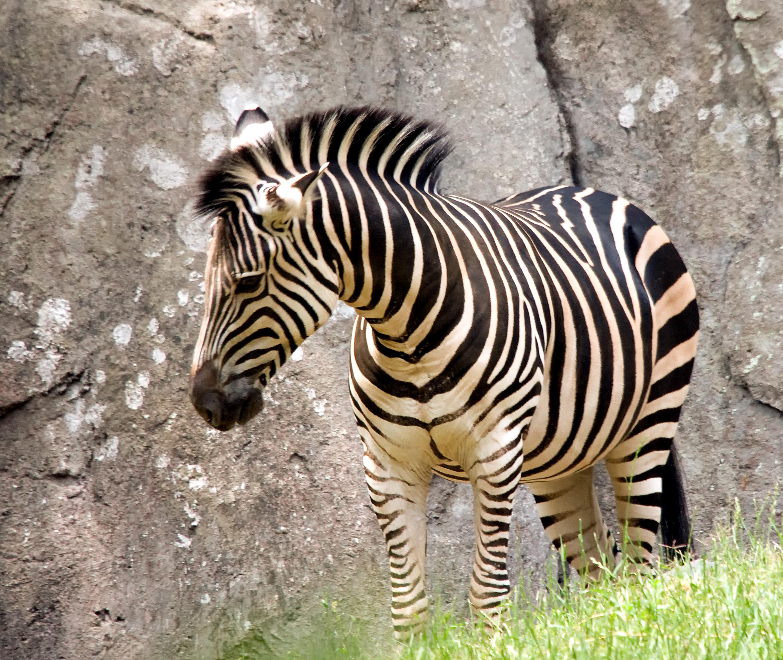 Image of Grant's Zebras