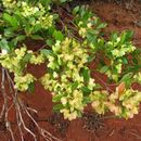 Image of Florida hopbush