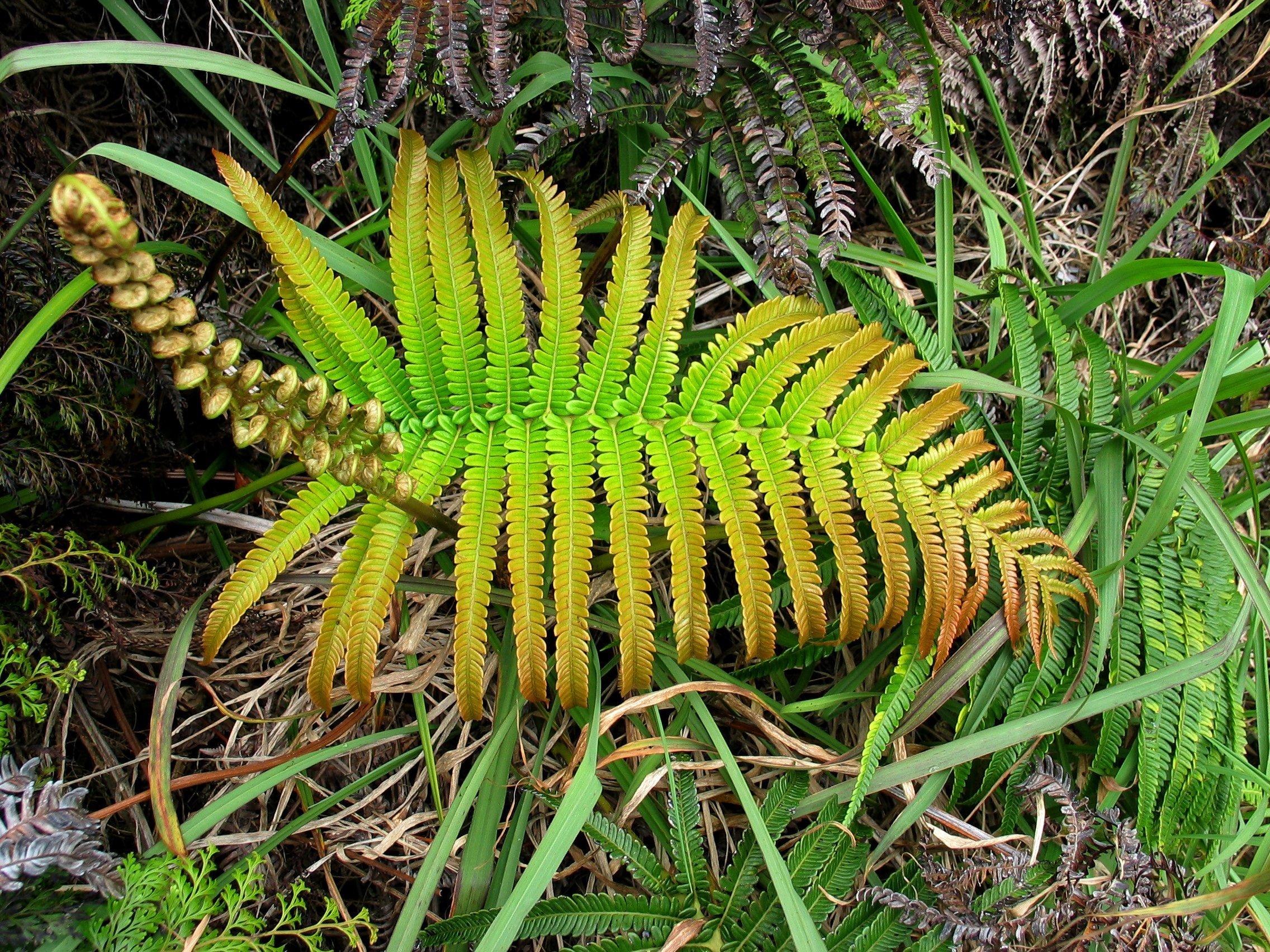 Image of amaumau fern
