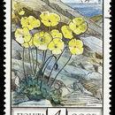 Image of Arctic poppy