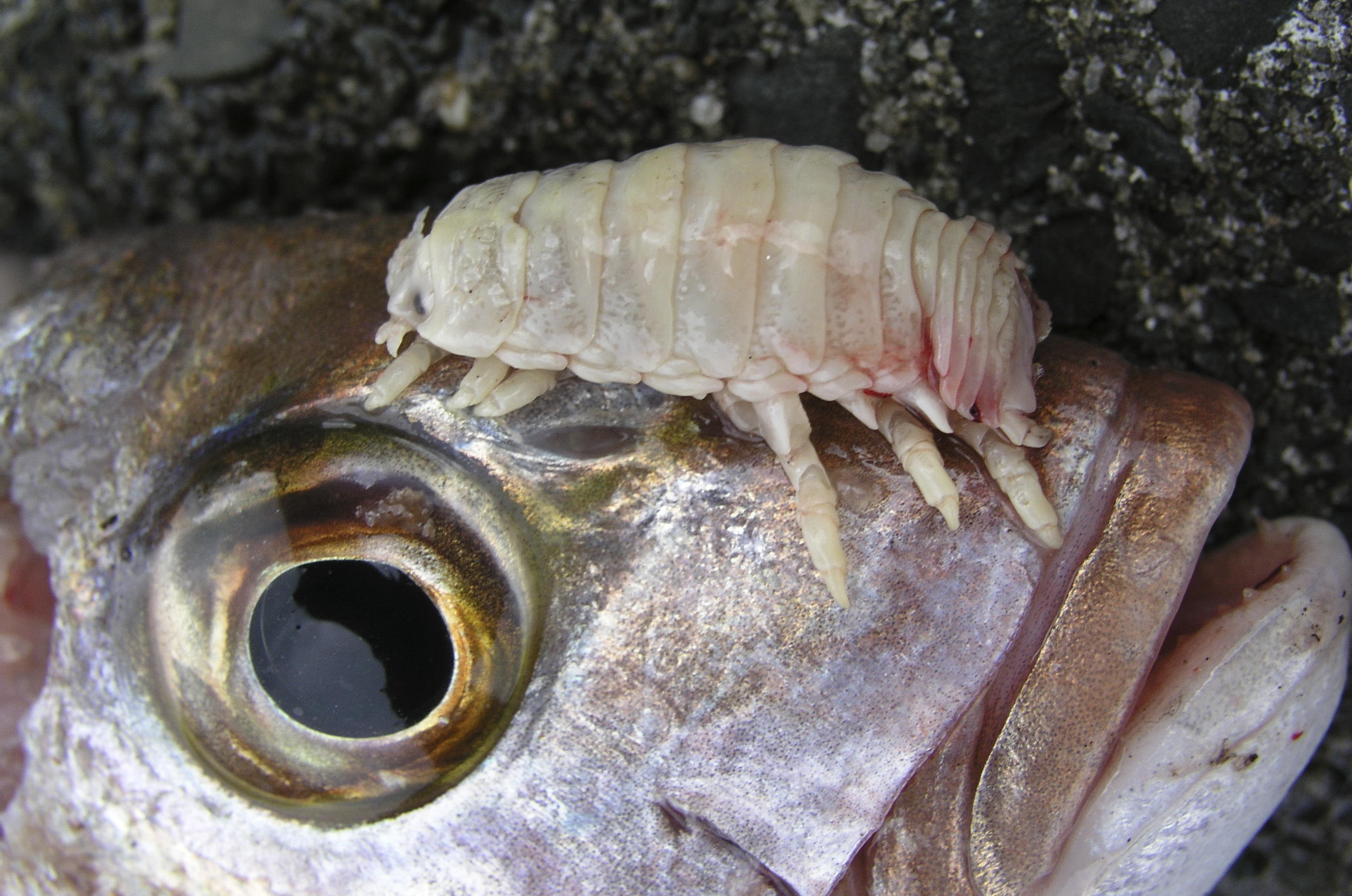 Image of Tongue-Eating Isopod
