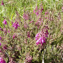 Image of <i>Erica ciliaris</i> L.