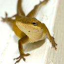Image of American Anole