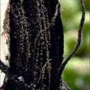 Image of <i>Sporisorium reilianum</i>