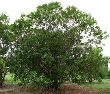 Image of kauila