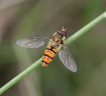 Image of Marmalade hoverfly