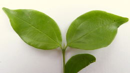 Image of <i>Strychnos brasiliensis</i> (Spreng.) Mart.