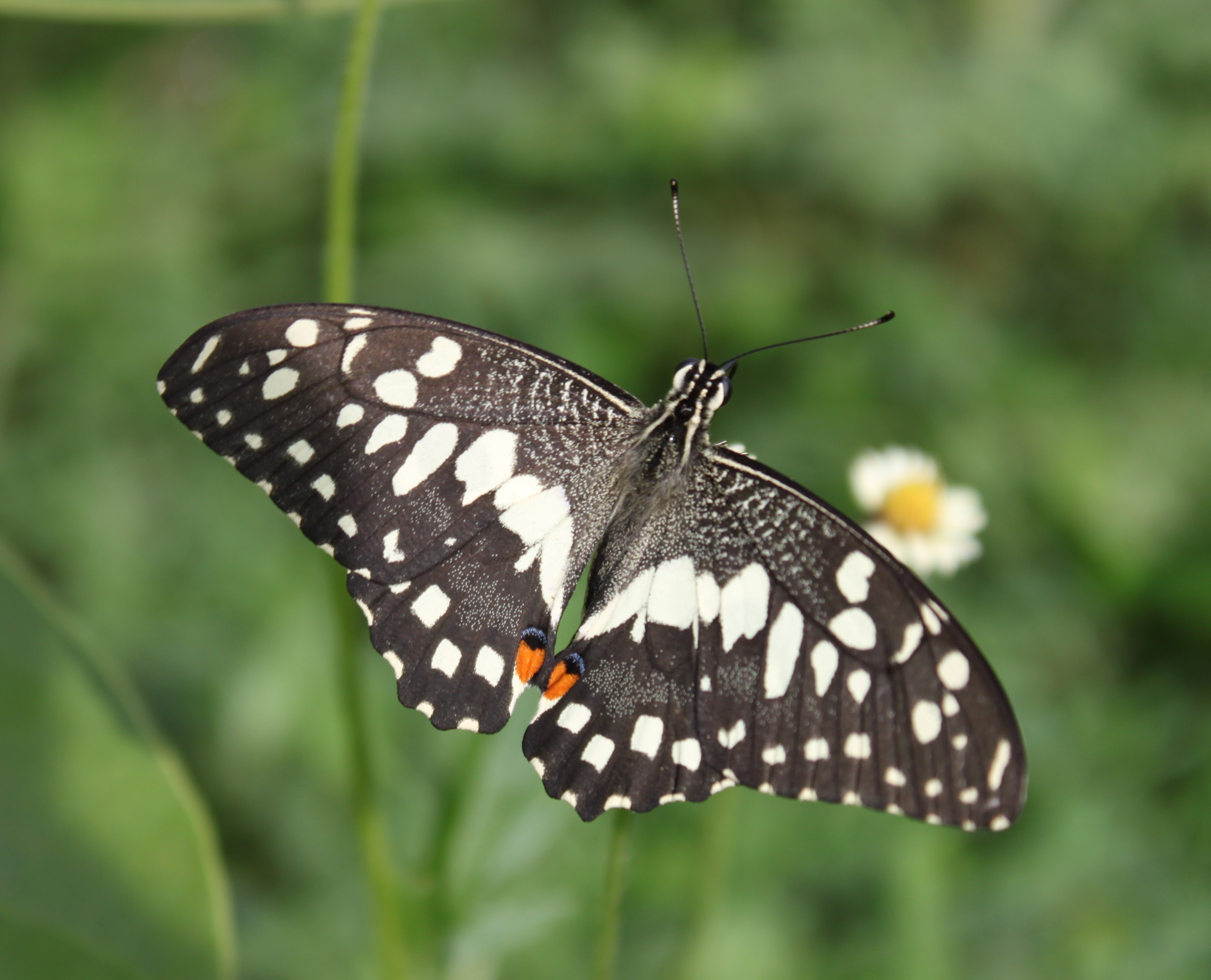 Image of Lime butterfly